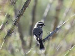 Black-throated Sparrow - Arizona by SpeedyJR (SpeedyJR) Tags: 2016janicerodriguez tucsonmountainpark blackthroatedsparrow sparrows birds wildlife nature tucsonarizona arizona speedyjr
