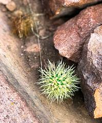 Defiance!! (Beegmnphoto) Tags: cacti desert arizona gold canyon hieroglyphics trail hiking goldcanyon tontonationalforest rocks green outdoor iphone arizonapassages iphone7plus