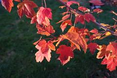SAM_1854 (falcon170ct) Tags: autumn fall leaves redoak
