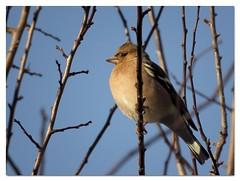 vink ~ finch 03 (_BieFeen) Tags: vink finch nature bird vogel zoom canon
