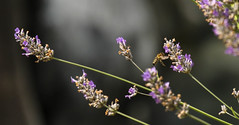 """as I read more and more of Monsanto gaining momentum in the states , my fears grow (island deborah- New Book """"Song of the Sparrow"""" vig) Tags: honey bees garden lavender"""