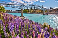 New Zealand-Tekapo lake (Nature Photography (miraclellie)) Tags: canterbury lupins              laketekapo lake tekapo newzealand new zealand southisland south island