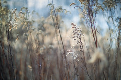 Winter Meadow (MartinFechtner-Photography) Tags: ebc fujinon 55mm canon fd lense f12 vintage legacy analog xt2 ssc fall herbst autumn ruhrgebiet glass fov metabones speedbooster ultra bokeh linse objektiv | blades iris 2016night depth field japanese japan color fuji fujicolor blue classic fixed length manual prime lens schärfentiefe outdoor blume pflanze