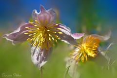 Botanical wonder (Sumarie Slabber) Tags: flowers flora sumarieslabber southafrica kirstenbosch botanical green pink yellow nature nikon petals