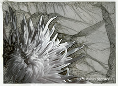 Mordanage (Pirogallolo) Tags: flowers nature natura bn fiori largeformat alternative biancoenero pinholephotography esperimenti altprocess fp4plus mordancage pinholephoto ilfordfilm fotografiaanalogica homemadepictures pirogallolo ilfordfilmfp4plus