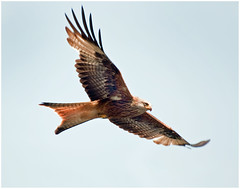 Red Kite in flight. (Andy Short's Nature Photography.) Tags: birds colours wildlife ngc flight npc birdwatcher redkite 2013 nikond90 the~wonders~of~nature vpu3 vpu4