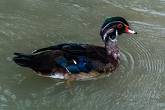 Photo of Wood duck
