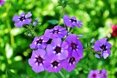 Velvet (Syed Ramish) Tags: flowers blue pakistan flower green nature beautiful focus pretty purple natural velvet stems hassan syed boken ramish muridke