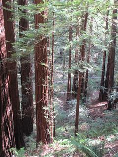 Slope below Hillside Trail, Muir Woods, California