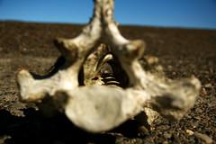 Seal Vertebrae (breakfast_pizzas) Tags: beach alaska seal bone barrow backbone vertebrae ptbarrow