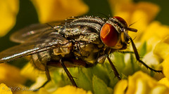 Fly macro (Rick Smotherman) Tags: flowers summer stpeters nature canon bug garden insect outdoors morninglight backyard july overcast 7d cloudysky canon7d canon100mmf28l