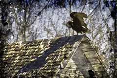 Vultures Roost (Brock Pauls) Tags: roof texture barn turkey lunch nikon top pauls brock vulture d7000