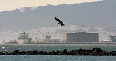 Richmond plunge (TJ Gehling) Tags: bird harbor pelican pointisabel brownpelican pelecanus pelecanusoccidentalis richmondca richmondshoreline pointisabelregionalshoreline ebparksok