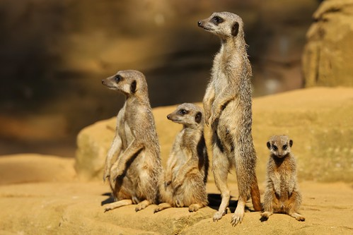 Meerkats by Ronnie Macdonald, on Flickr
