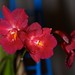 Cattleytonia Jamaica Red 'Sentinel' – Alex Nadzan