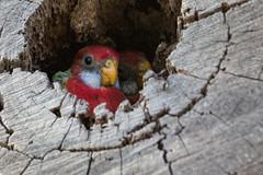 Eastern Rosella 2013-11-06 (_MG_2788) (ajhaysom) Tags: australia melbourne easternrosella platycercuseximius greenvale woodlandshistoricpark