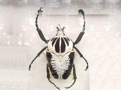 Goliath Beetle (DianesDigitals) Tags: beetles goliathbeetle dianesdigitals goliathusregius
