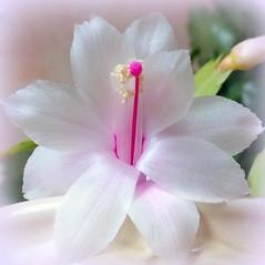 ~ Christmas cactus flower ~