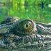 Crocodile Eye, Singapore Zoo