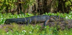 Trip to Hontoon (mwjw) Tags: walter st river nikon eagle gator mark wildlife alligator johns d800 mwjw