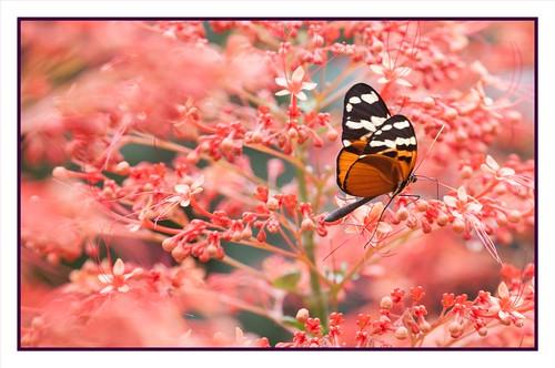 Heliconius Ismenius Butterfly