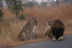 IMG17717 (Arno Meintjes Wildlife) Tags: africa wallpaper animal southafrica wildlife lion safari bigcat getty predator krugerpark big5 pantheraleo arnomeintjes