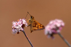 Feeding Skipper (fauxtophile) Tags: macro butterfly marin skipper buckwheat mttamalpais