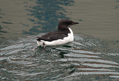 Thick billed murre (S. J. Coates Images) Tags: ontario water birds kingston lakeontario murre