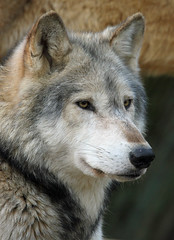 Timber Wolf (Buggers1962) Tags: portrait nature face animal closeup canon mammal zoo eyes wolf close wildlife colchester colchesterzoo whitewolf timberwolf greatphotographers simplysuperb itsazoooutthere canon7d wolfpicture hganimalsonly highqualityanimals