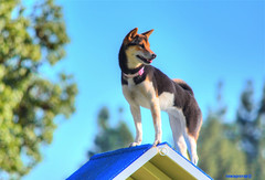 Lookout Dog (newagecrap) Tags: california dog dogs canine socal agility sanfernandovalley agilitycourse agilitycompetition mygearandme highdesertagilityclub
