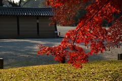 Kyoto Gyoen /  (Kaoru Honda) Tags: city autumn fall nature japan landscape japanese nikon kyoto shrine traditional        redleaves    kyotoimperialpalace   kyotogosho  d7000