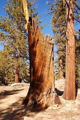 Willow Creek Trail 04 (ronkacmarcik) Tags: california park tree pine san state palmsprings mount southern trail southerncalifornia willowcreek jacinto bristlecone sanjacinto tokina12244