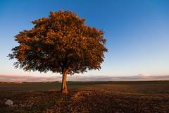 L'automne (photosenvrac) Tags: automne photo centre bleu ciel paysage marron arbre feuille marronnier feuillesmortes thierryduchamp