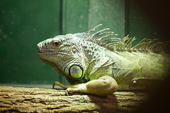 """Green iguana 1 • <a style=""""font-size:0.8em;"""" href=""""http://www.flickr.com/photos/30765416@N06/12159955015/"""" target=""""_blank"""">View on Flickr</a>"""