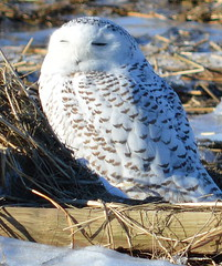 Snowy Owl (Sagebrush7 (Rayann)) Tags: winter white snow beach snowy owl marsh