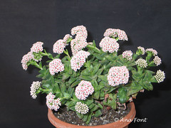Crassula-Martins-Pink (Coleccion de cactus Ana Font) Tags: pink martins crassula suculenta