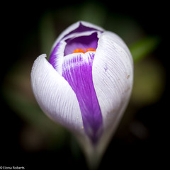 Emergence (Eiona R.) Tags: crocus wfc glyncollenwoods canoneos700d canonefs60f28macrousm