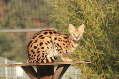 Serval (Chicago John) Tags: world park cats oregon great junction cave serval cavejunction greatcatsworldpark