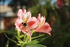 Flow Power! (CVidelaR) Tags: pink flower flor rosa bee abeja astromelia