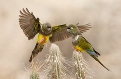 LORO TRICAHUE (Cyanoliseus patagonus bloxami). Burrowing Parrot. (Sergio Bitran M) Tags: chile bird southamerica parrot ave loro sudamerica 2014 psittaciformes