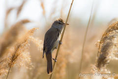_MG_4465 (EStolyarov) Tags: wild lake bird reed water animal fauna daylight spring wildlife warbler feathered greatreedwarbler acrocephalusarundinaceus canon7d tamron70300vcusd