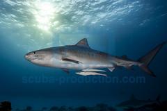 2014 03 TIGER BEACH-2445