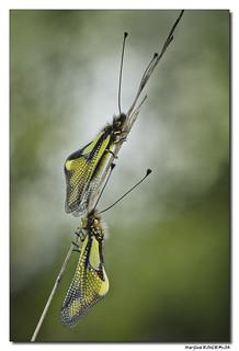 Ascalaphe Soufré - Libelloides coccajus #2