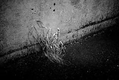Persistence (primitiveprobe) Tags: street leica bw concrete weed sad straw m8 asphalt vc35mmf25