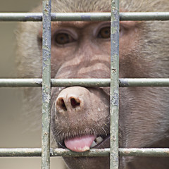 Monkey's Tonguing in Jail(  ) (Johnnie Shene Photography(Thanks, 1Million+ Views)) Tags: park wild colour macro animal animals tongue horizontal canon lens outdoors photography eos japanese rebel zoo monkey kiss image zoom outdoor south sigma korea images apo seoul jail childrens monkeys 70300mm dg 456 jails macaque t3i  x5 tonguing 70300 zoological  fragility 600d f456
