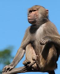 mantelbaviaan Emmen IMG_0075 (j.a.kok) Tags: baboon mantelbaviaan