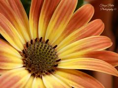 Orange daisy (Terezaki ) Tags: light orange flower macro photography photo day searchthebest daisy pictureperfect flowerscape anawesomeshot flickrdiamond theperfectphotographer naturesfinestnatureselegantshots