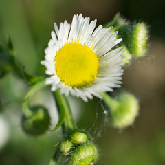 Daisy Fleabane (InnesAlison) Tags: summer flower nature daisy wildflower daisyfleabane decew erigeronannuus