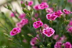 Oeillet (lovetoday90) Tags: oeillet flower d3100 nikon 50mm18