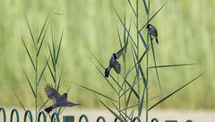 Gymnasts (Syed Mohsin Khadri) Tags: nikond7100 nikkor200500mm birdphotography birdsinflight birdsofindia birdsofuae birdwatching whitecheekedbulbul handheld amazing naturephotography nationalgeographic natgeo abudhabicorniche abudhabi lakeparkabudhabi